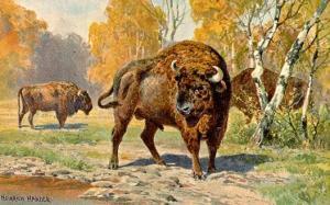 bison%201
